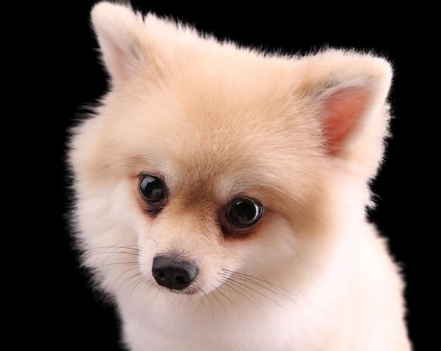 Cão pomeranian branco em preto