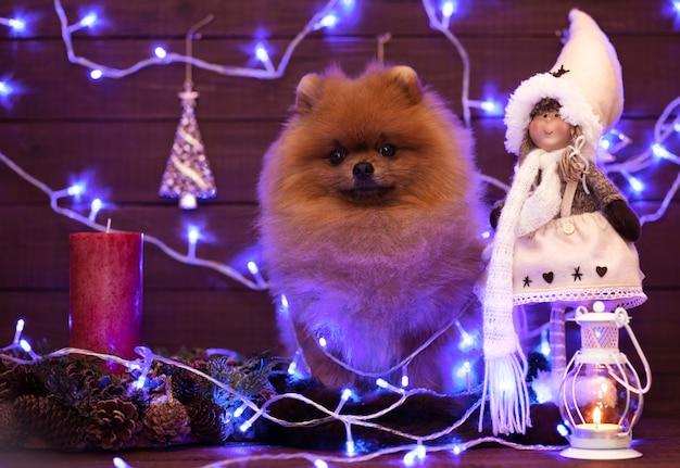 Cão pomeranian em decorações de natal em fundo de madeira. cachorro de natal feliz ano novo