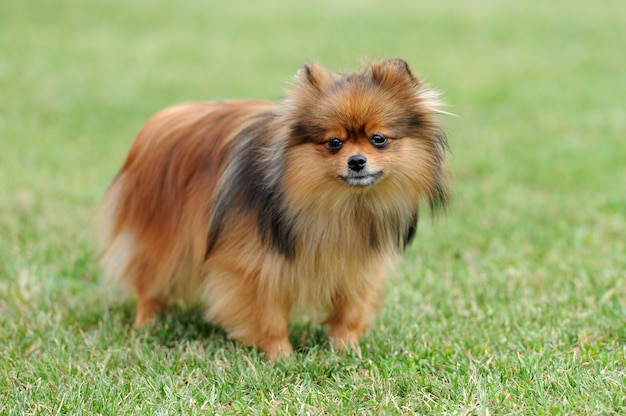 Cão pomeranian marrom perto da grama verde do verão