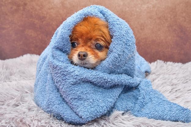 Cão pomeranian spitz no processo de lavagem da toalha
