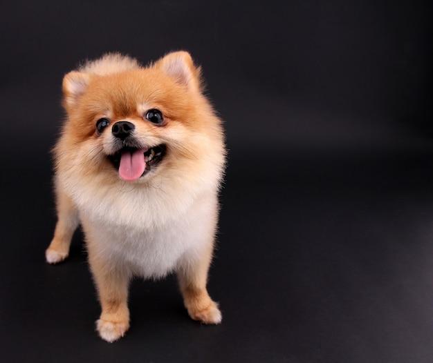 Cão pomeranian.
