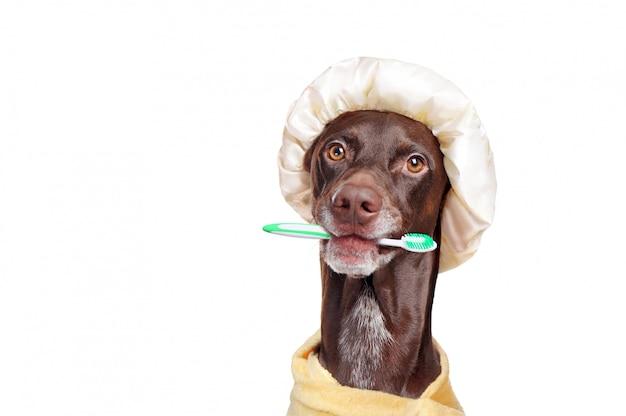 Cão ponteiro depois do banho com uma escova de dentes nos dentes
