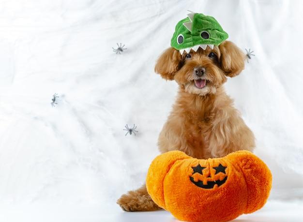 Cão poodle brown com brinquedo abóbora na teia de aranhas.