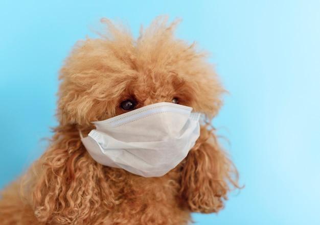 Cão poodle em uma máscara protetora sobre um fundo azul
