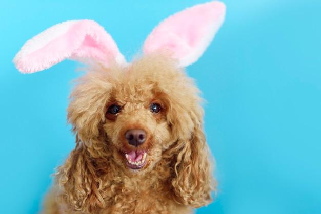 Cão poodle feliz no azul com orelhas de coelhinho da páscoa