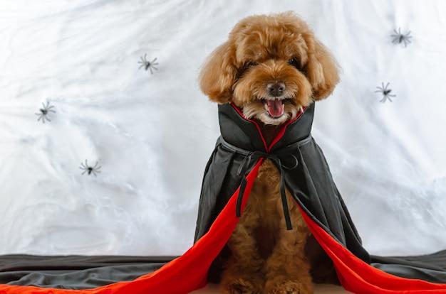 Cão poodle marrom com vestido de drácula e teia de aranha.