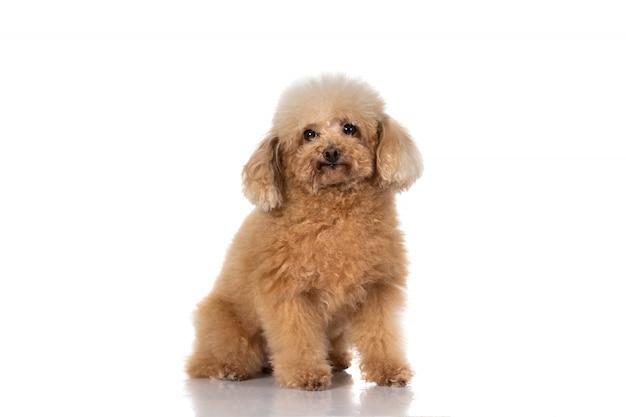 Cão poodle miniatura