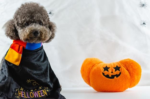 Cão poodle preto com brinquedo abóbora e teia de aranha.