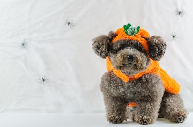 Cão poodle preto com vestido de abóbora.