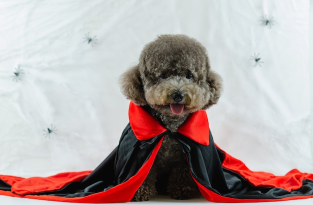 Cão poodle preto com vestido de drácula e teia de aranha.
