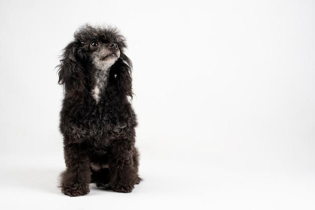 Cão poodle preto, sentado no chão em uma parede branca