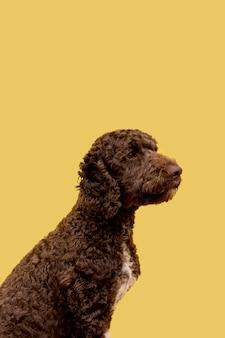 Cão poodle vista lateral