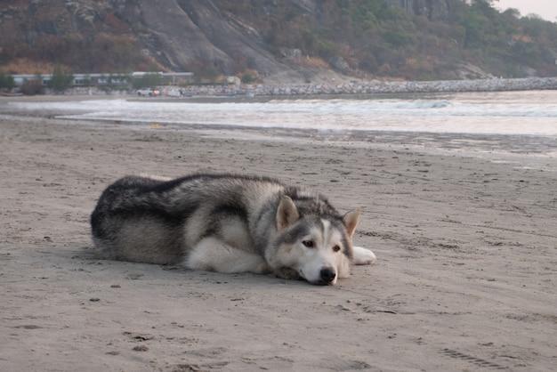 Cão preguiçoso com sono husky siberiano na praia à beira-mar