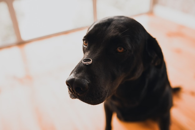 Cão preto da raça retriever sentado em uma casa segurando uma aliança na cabeça