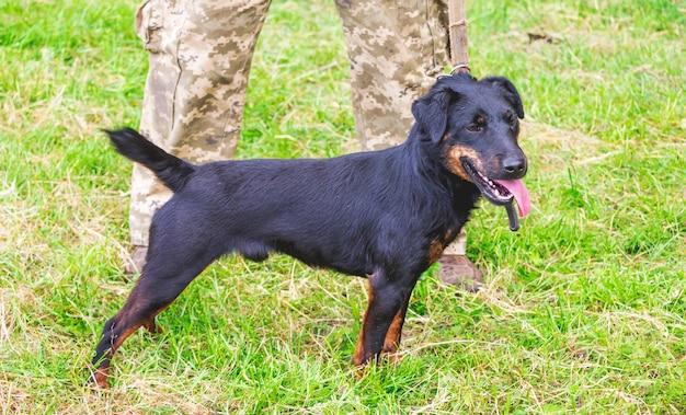 Cão preto da raça yagdterrier perto de seu dono