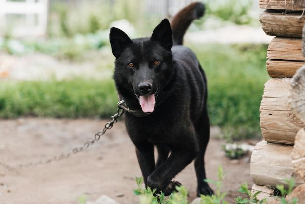 Cão preto de guarda doméstica em uma corrente