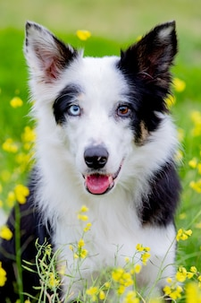 Cão preto e branco bonito de border collie