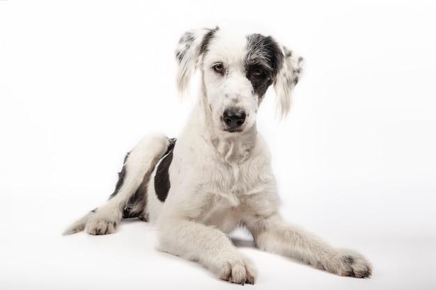 Cão preto e branco lindo vira-lata deitado no fundo branco