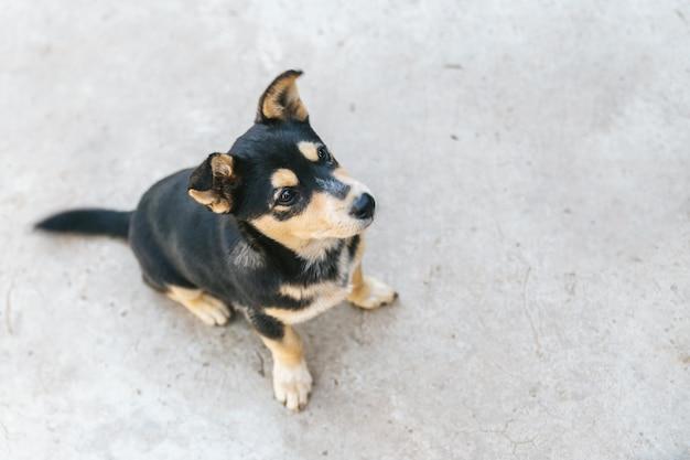 Cão preto e castanho pele tailandesa sentado no chão de concreto