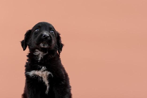 Cão preto em fundo rosa
