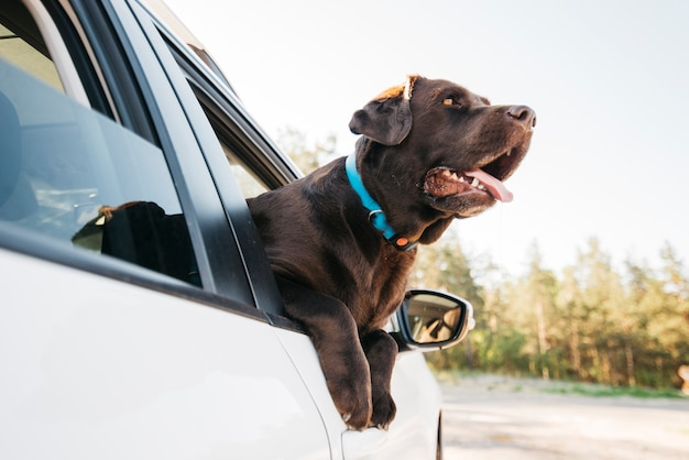 Cão preto feliz no carro