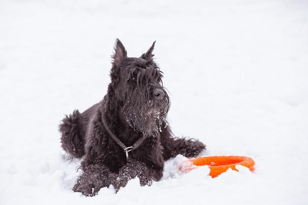 Cão preto grande riesenschnauzer na neve