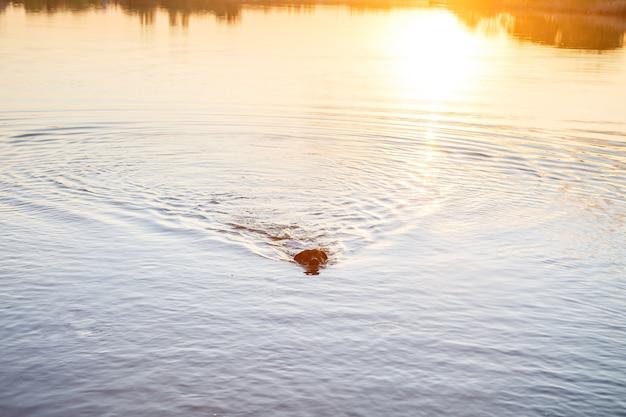 Cão preto labrador ao pôr do sol nada no lago. lindo cão de estimação da família na praia ao pôr do sol. cachorro explora o mar nas férias de verão