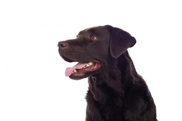 Cão preto lindo golden retriever