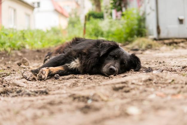 Cão preto sem-teto encontra-se na grama verde e olha na câmera.