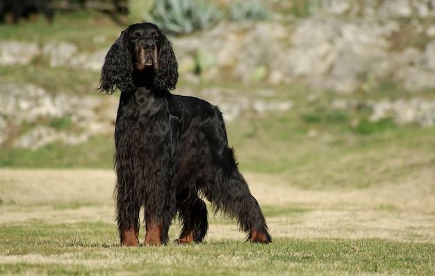 Cão preto setter inglês