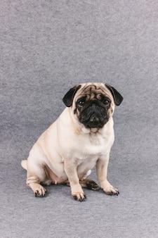 Cão pug com grandes olhos tristes senta-se em uma sala cinza