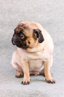 Cão pug com grandes olhos tristes senta-se