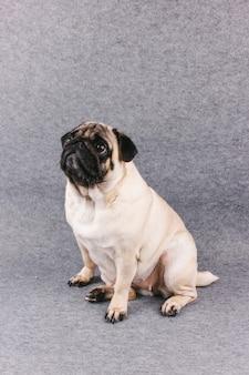 Cão pug com olhos grandes tristes senta-se em uma sala cinza e olha para cima
