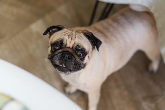 Cão pug em pé debaixo da mesa esperando por comida na cozinha