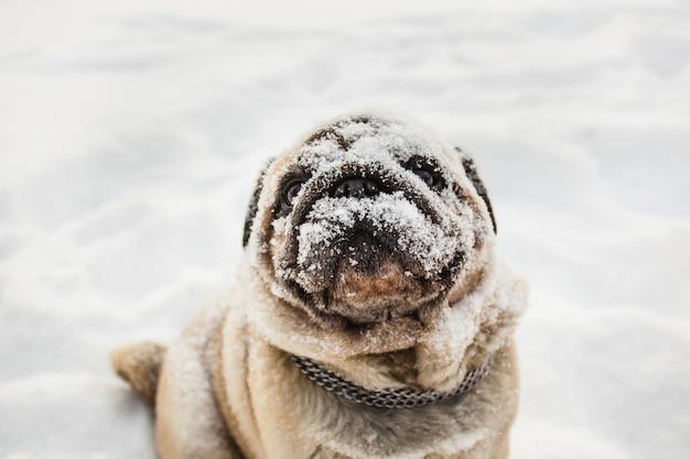 Cão pug na neve, cão coberto de neve, focinho na neve, amigo humano, animal de estimação