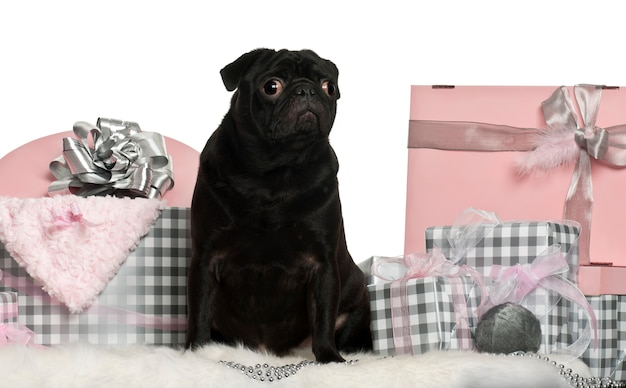 Cão pug preto com caixas de presente de natal