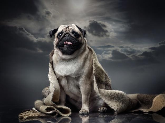 Cão pug senta-se com a língua de fora coberta com uma manta.