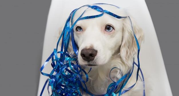 Cão que comemora o ano novo, o carnaval ou a festa de anos com as flâmulas serpentinas azuis que sentam-se em uma cadeira nórdica.