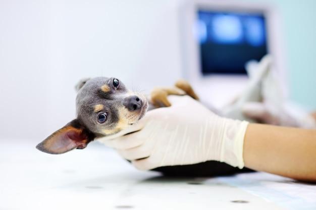 Cão que tem a varredura do ultrassom no escritório do veterinário. little dog terrier em clínica veterinária