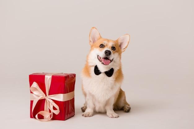 Cão raça corgi em gravata com caixa de presente vermelha em branco