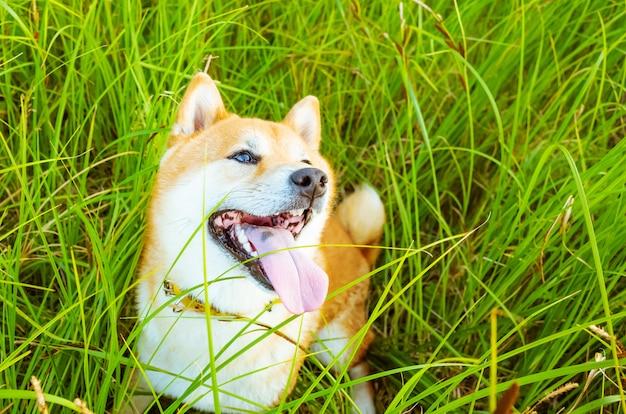 Cão raça shiba inu close-up. o cão senta-se na grama em uma noite quente de verão.