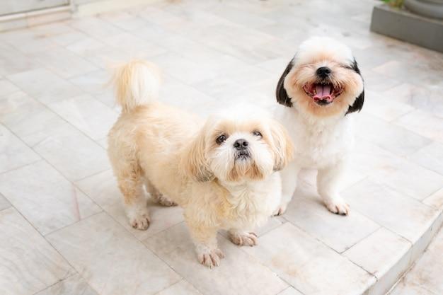 Cão raça shih-tzu branco e pele marrom e ela sentou-se assistindo e parece bonito.