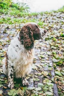 Cão raça springer inglês spaniel senta-se no parque outono