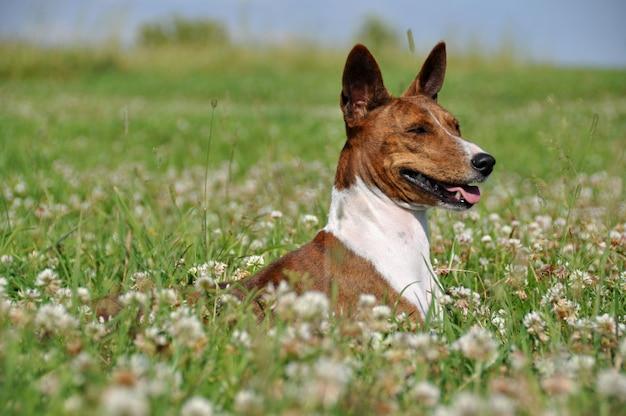 Cão rajado de basenji no campo de flores