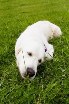 Cão retriever dourado, deitado na grama