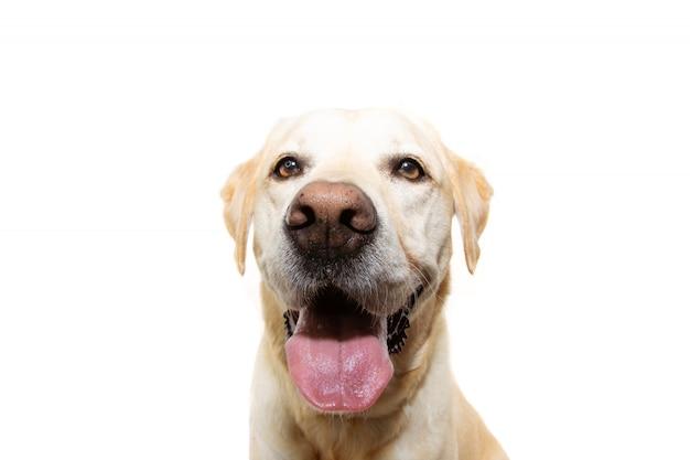 Cão retriever dourado idoso e feliz com a língua de fora. isolado.