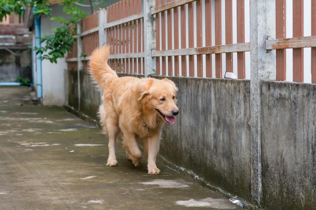 Cão retriever dourado, levado ao ar livre