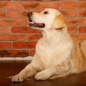 Cão retriever dourado lindo