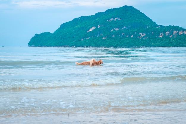 Cão retriever dourado relaxante, brincando no mar para a aposentadoria ou aposentado. abstrato férias relaxantes férias felizes.