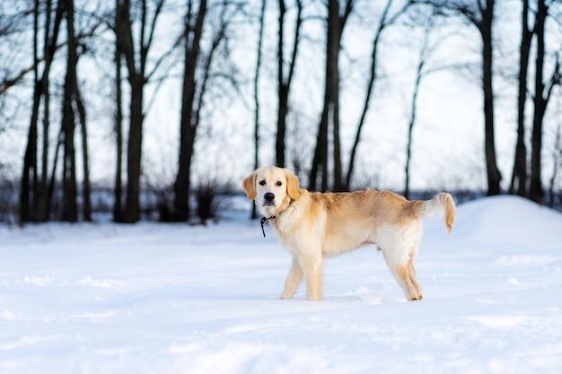 Cão retriever jovem e fofo andando no inverno em árvores escuras de fundo